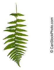 Fern Leaf - One green fern leaf against a white background.