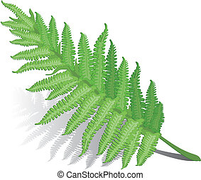 Fern leaf - Single fern leaf isolated on white background ,...