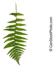 Fern Leaf - One green fern leaf against a white background.
