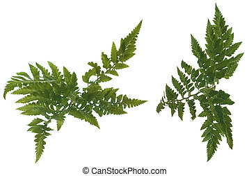 Fern leafs isolated on a white background.