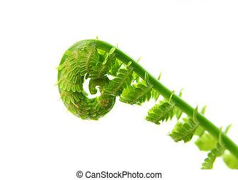 Fern - Fresh fern leaves against white background