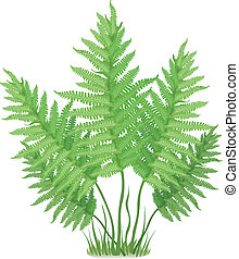 Plant of fern family on white background, vector illustration