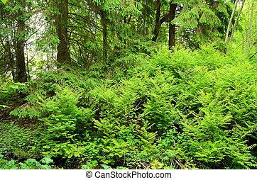 Fern thickets in the woods in the spring