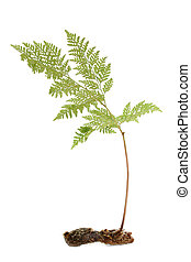 Fern tuber with single leaf over white