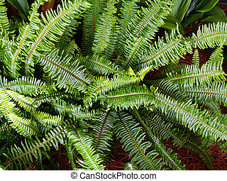Fern used as a groundcover in a flowerbed.