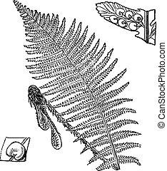 Fern, vintage engraved illustration
