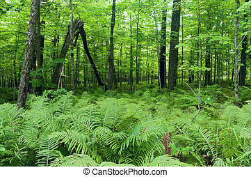 Ferns and Forest at Jay Cooke State Park