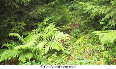 Delicate ferns and moss grow on the forst floor in this temperate rainforest wilderness in the picturesque Carpathian Mountains of Ukraine. Video UltraHD 4k