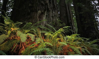 Ferns and Redwoods - Bright ferns growing at the base of the...