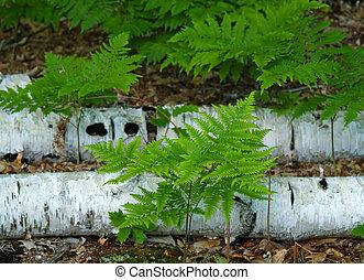 ferns, e, árvores vidoeiro