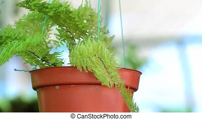 ferns hanging in pots