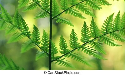 Ferns In Summer Close Up - Close-up of fern in forest,...