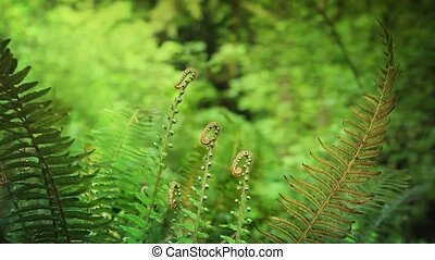 Ferns In Summer In Forest - Shallow focus shot of ferns deep...