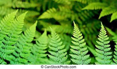 Ferns In Sunlight Loop - Shallow focus shot of ferns deep in...