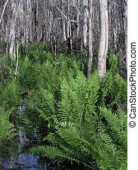 Ferns White Bark - Ferns with White Bark - Gulf Shores AL