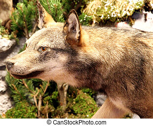 ferocious and voracious Wolf looking for prey in the middle of the Woods 2