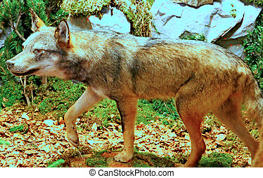 ferocious and voracious Wolf looking for prey in the middle of the Woods in autumn 1