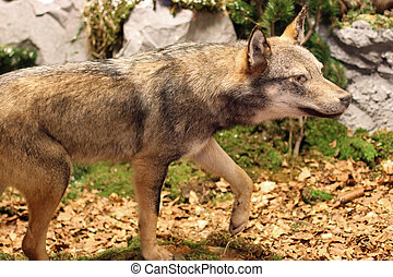 ferocious and voracious Wolf looking for prey in the middle of the Woods in autumn 3