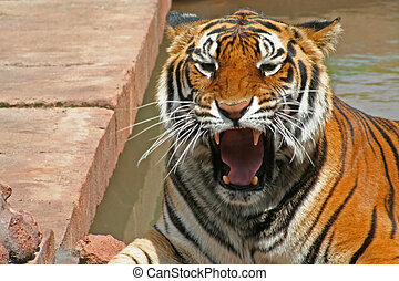 Ferocious Tiger - Tiger - he doesn't look happy!