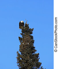 feroz, alaskan, águia calva
