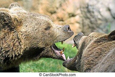 feroz, osos, mordeduras, boca, poderoso, lucha, dientes, agudo, sopla, abierto