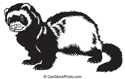 ferret, black and white side view picture