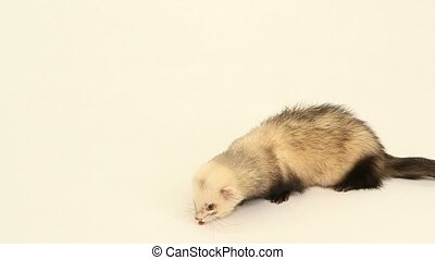 ferret eats on a white background