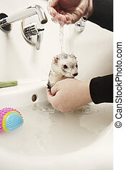Ferret female bathing in wash basin