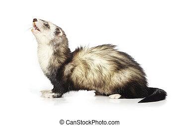 Ferret female on reflective white background