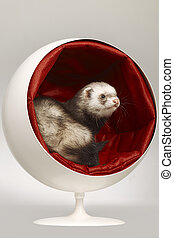 Ferret in ball chair relaxing and posing in studio