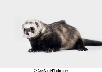 Ferret in front of a white background.
