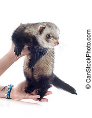 ferret in hand - portrait of a male ferret holding in hand...