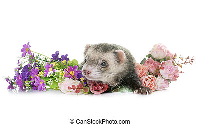 ferret in studio