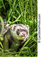 ferret in the grass