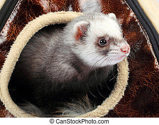 ferret in the house - Young ferret sticking out of the house
