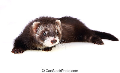 Ferret kit - Two months old ferret kit, isolated on white