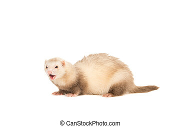 Ferret lightbrown with mouth open - Lightbrown ferret with...