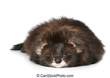 Ferret lying on a white background