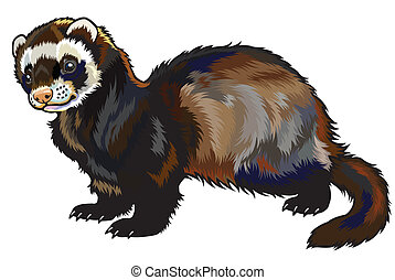 ferret, mustela putorius furo, side view picture isolated on...