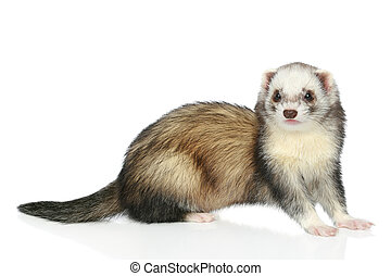 Ferret on a white background - Ferret (polecat) sitting on a...