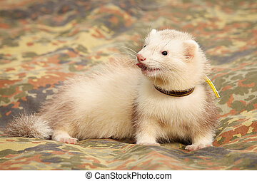 Ferret on camouflage blanket
