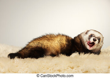 Ferret on fur posing in studio