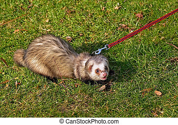 Ferret on leash grass walking