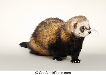 Ferret on matt white background