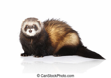 Ferret on reflective white background