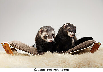 Ferret on sofa in studio - portrait