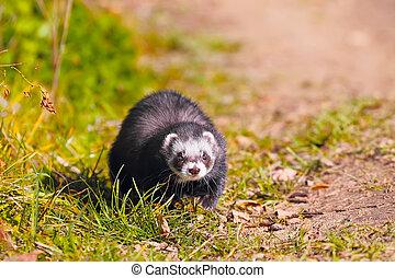 ferret on the grass