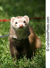 ferret on the grass