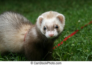 ferret on the lawn
