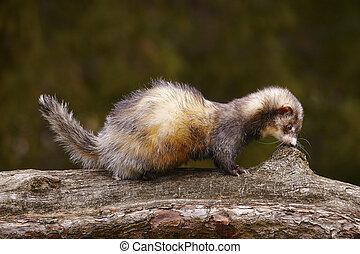 Ferret on tree bench engoying spring park